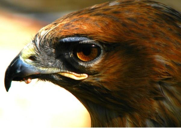 Hawk symbolism may be appearing for you to guide you to a higher purpose, a purpose of sacred meaning for your soul...