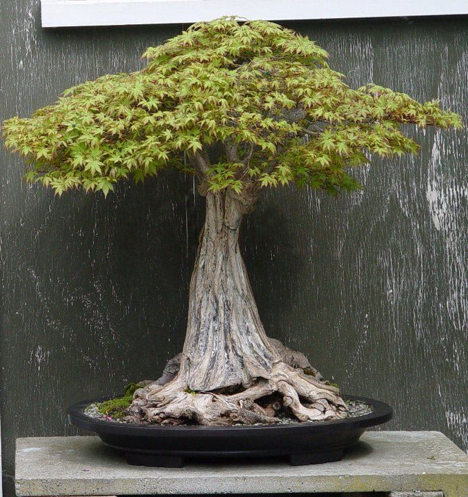 Bonsai; looking closely, you can see this tree was once many saplings that have since fused together forming one massive trunk. #grafting #bonsai