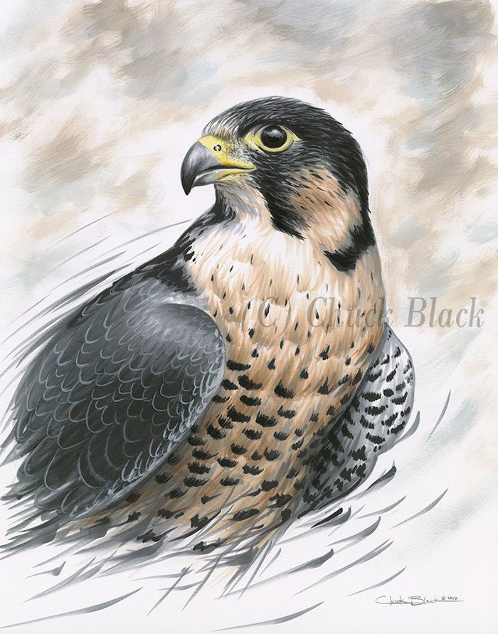 Original art peregrine falcon drawing signed by wildlife artist chuck black