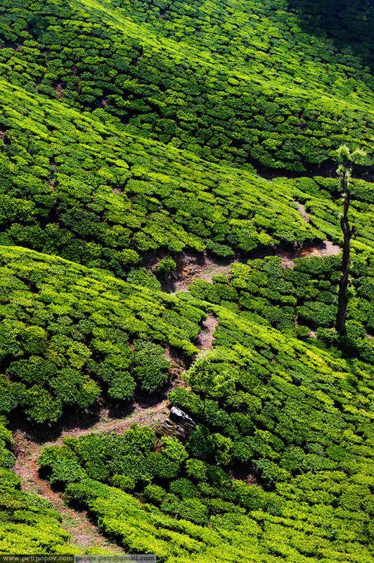Tea Plantation in India.  Wonderful texture.  // Great Gardens & Ideas //