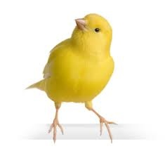 Have a Canary Bird--She is so sweet