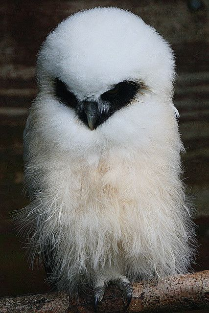 Baby owl by Ian Baby Animals| http://your-cute-baby-animals-gallery.blogspot.com