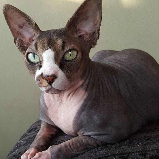 #おはようございます #ねこ#ねこばか#猫好き#猫 #スフィンクス猫#愛猫 #cat#cats#catstagram#sphynx #sphynxlair#sphynxcats #sphynxcatsofinstagram  #sphynxlove