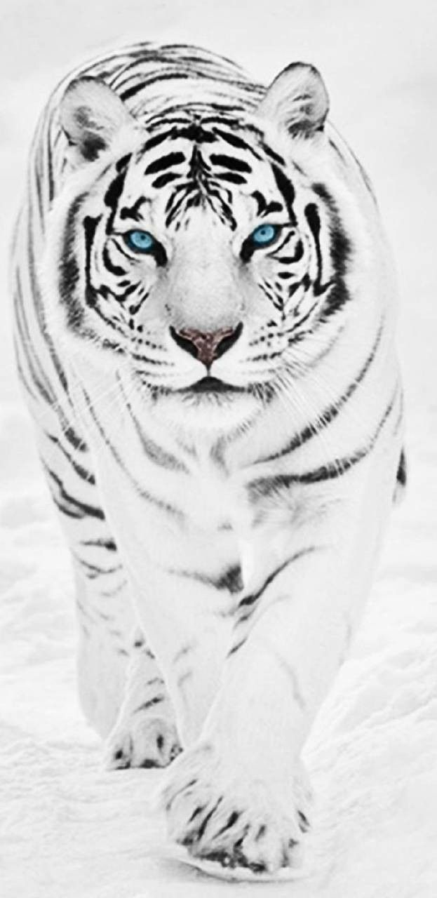 4k Ultra Hd Tiger Wallpaper For Android And Iphone In 2021 Tiger Wallpaper Baby Animals Funny Tiger
