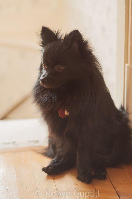 tinka #pomeranian Black Pom Puppy dogs