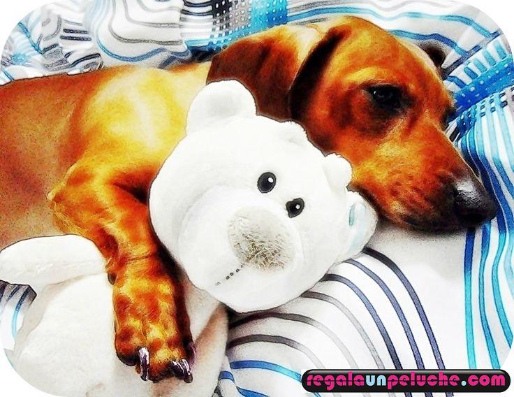 Perro con su oso para dormir. #perros, #peluches