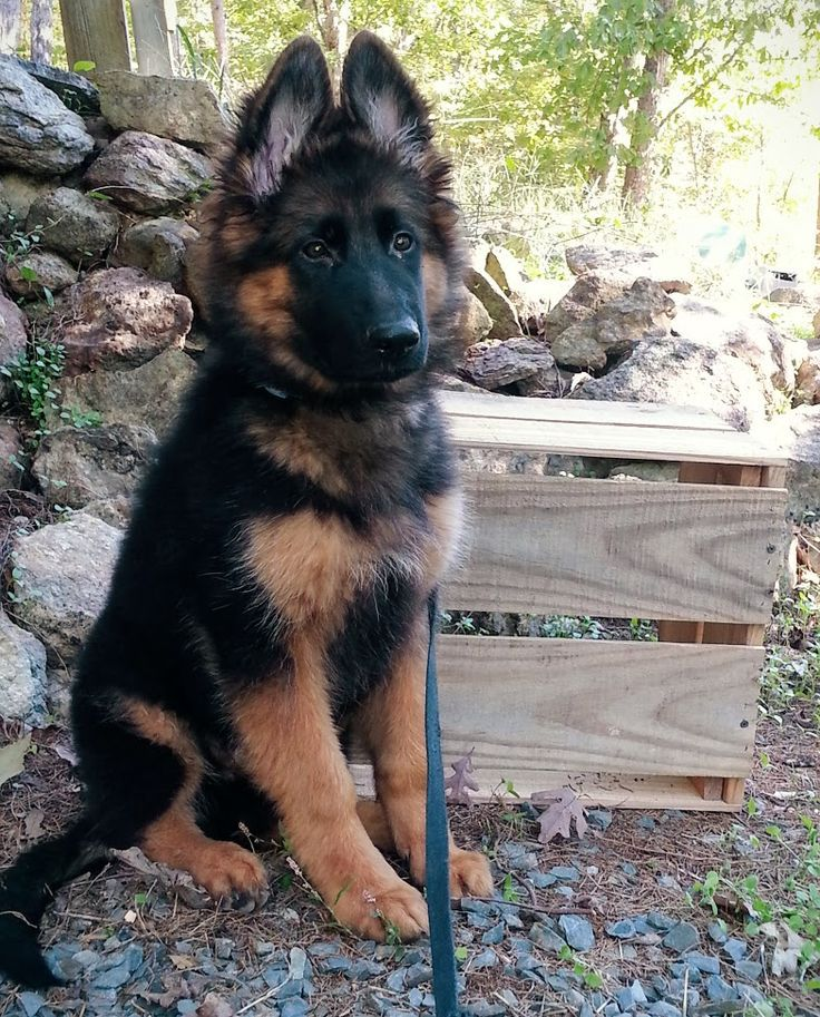 Long haired king German shepherd puppy