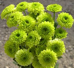 Green button mums.  (Google Image Result for http://sarahlearns.files.wordpress.com/2011/03/spray_mum_button_green.jpg)
