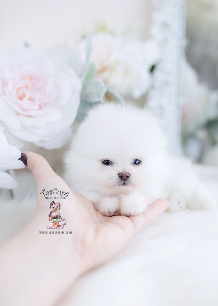 Tiny Teacup Omeranian White Puppy For Sale Teacup Puppies 098 B Teacup Puppies Tiny Dog Breeds Puppies