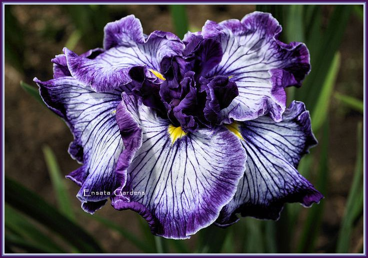 Japanese Iris 'Indigo Angel' Love these Flowers