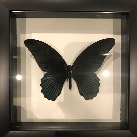 Hey, I found this really awesome Etsy listing at https://www.etsy.com/listing/588975431/real-black-papillio-taxidermy-display