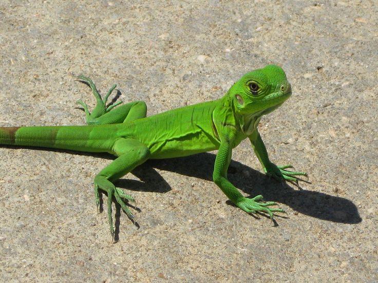 iguana | La oreja de la iguana es conocida como tímpano, que es una estructura ...