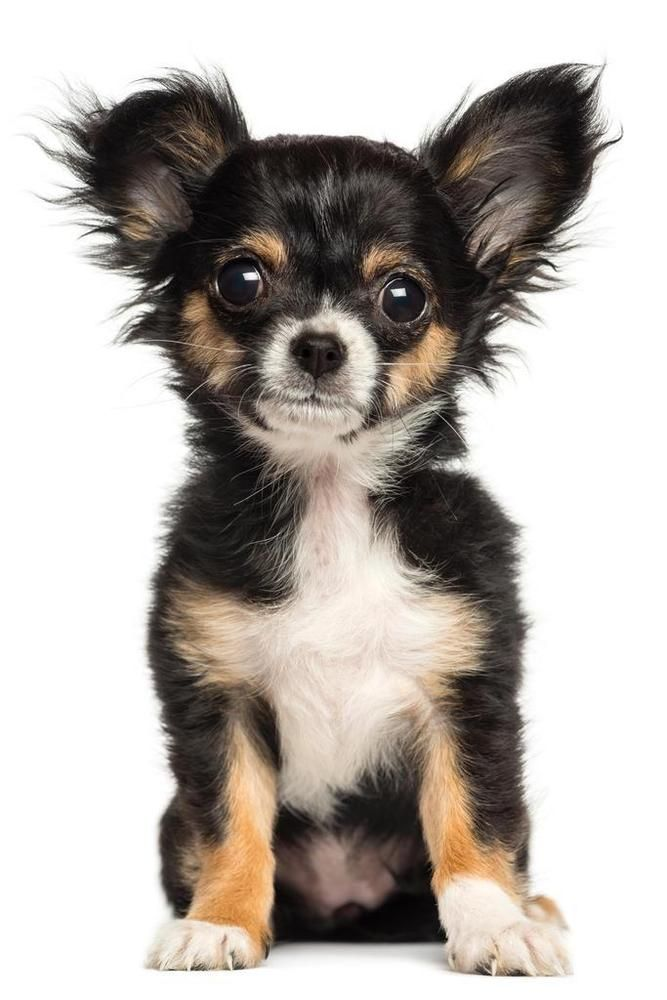 Chihuahua Puppy Sitting Posing For Camera Photo Art Print Poster
