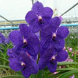 Vanda Pachara Delight Orchid