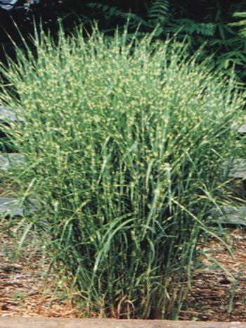 Miscanthus sinensis (Porcupine Grass)