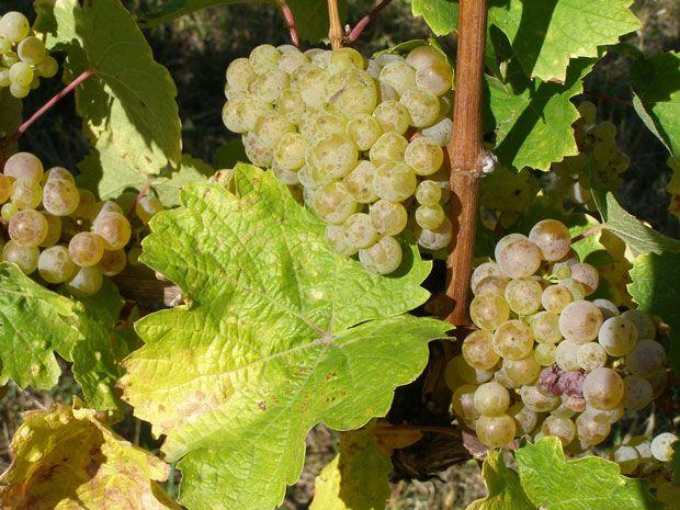 Vitis vinifera - réva vinná venkovní VOSTORG