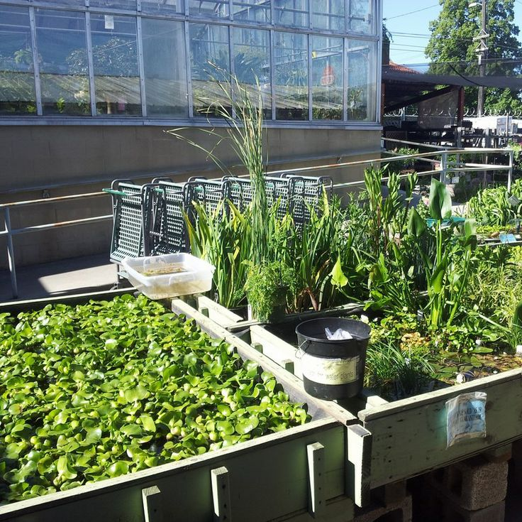 orthwest Seed & Pet has many varieties of pond plants available at our stores.  We have a large quantity of Water Hyacinth and Water Lilies, as well as cattail, water lilies, cannas, and many other varieties.