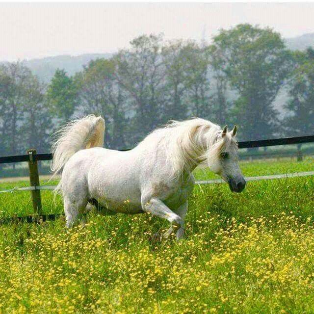 Pribot [NL] 2002 Russian-related grey Arabian stallion. Marwan {Manganate x Marifa by Cheri Bibi} x Piroga {Aswan x Prikhot by Sport} Bred by Den Hartog Family, Kossack Stud, Netherlands.