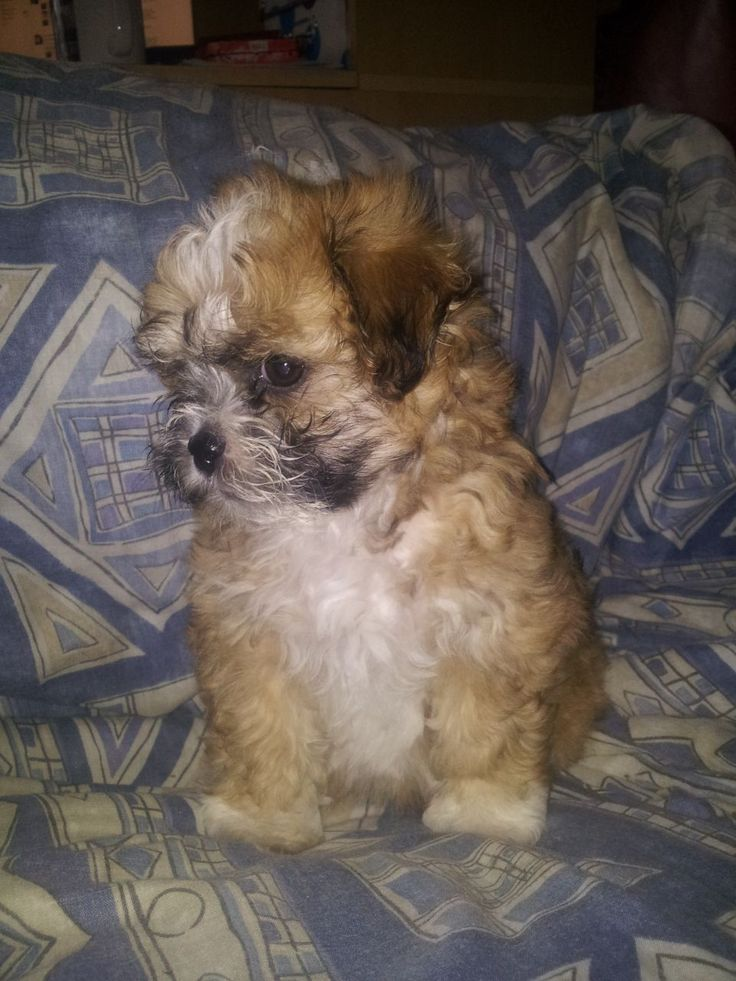 shih tzu and bichon best 25 bichon shih tzu mix ideas on pinterest teddy 5852