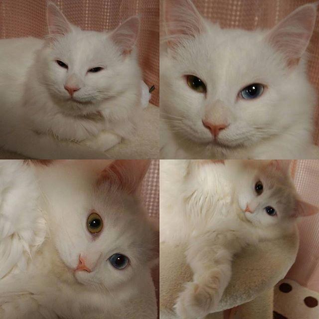 お前,何さっきから泣いてるにゃ( ^∀^)?? 卓球少女#福原愛ちゃん を見てるんだョ(;つД`) #独占密着24年 . 小さな頃から見ていて,自分の 身内のように 見守り 泣いている人はきっと私だけじゃないはず。・゜・(ノД`)・゜・。 #イケニャン は#薄ら笑い #人間ウオッチング( ^∀^)(笑) #白猫 #猫写真 #愛猫 #ねこ部 #しろねこ部 #オッドアイ #金目銀目 #oddeye #愛猫同好会 #イケニャン #にゃんすたぐらむ #にゃんだふるらいふ #猫のいる生活#cat #whitecat #ふくちゃん #catstagram #ねこら部 #美猫 #ねこすたぐらむ #mixcat #長毛猫 #長毛猫部