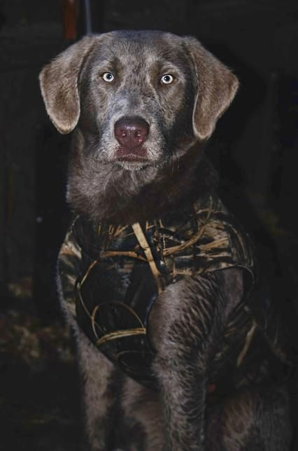 Silver Lab Puppies for Sale   Silver Labs - Charcoal Lab Puppies