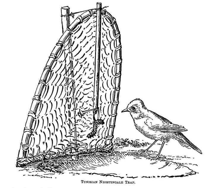 Baitedtrap - Bird trapping - Wikipedia, the free encyclopedia