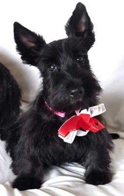 Scottish Terrier Puppy - too cute!