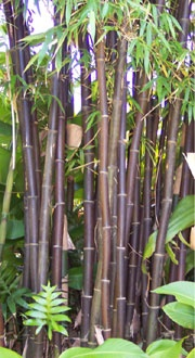 Bambusa lako 'Chocolate Black Bamboo'  Useable Black Timber Edible Shoots Beautiful Ornamental Collector's Item Large Hedge Windbreak Erosion Control Hardy-Tolerates full sun, drought, wind, wet conditions 60' tall with 3 Culms