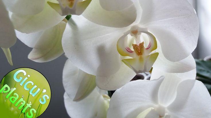 Am cumparat o Orhidee cu flori albe