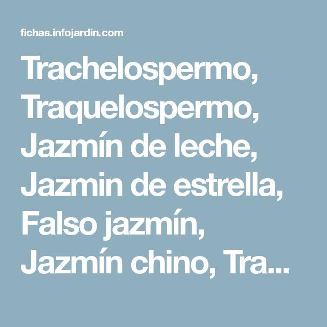Trachelospermo, Traquelospermo, Jazmín de leche, Jazmin de estrella, Falso jazmín, Jazmín chino, Traquelospermum, Jazmín estrellado - Trachelospermum jasminoides = Rhynchospermum jasminoides