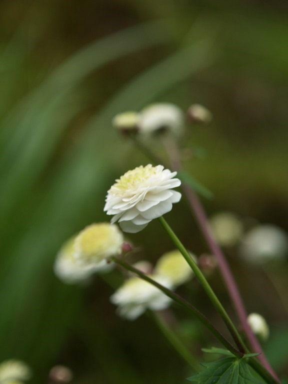 2015-05-31: Ranunculus aconitifolius 'Flore Pleno'