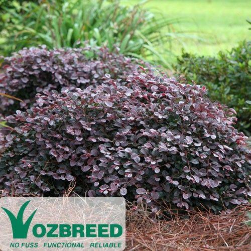 Loropetalum chinense Purple Pixie; Works in Shade