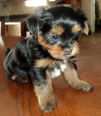 yorkie and shih tzu puppies pinterest the world s catalog of ideas 6556