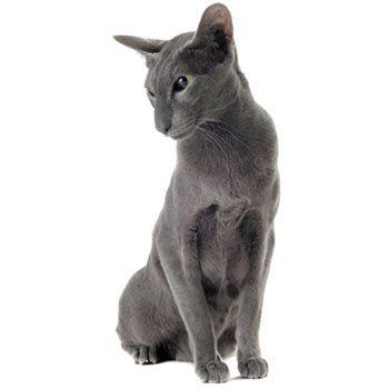 Orientálna mačka - Hľadať Googlom