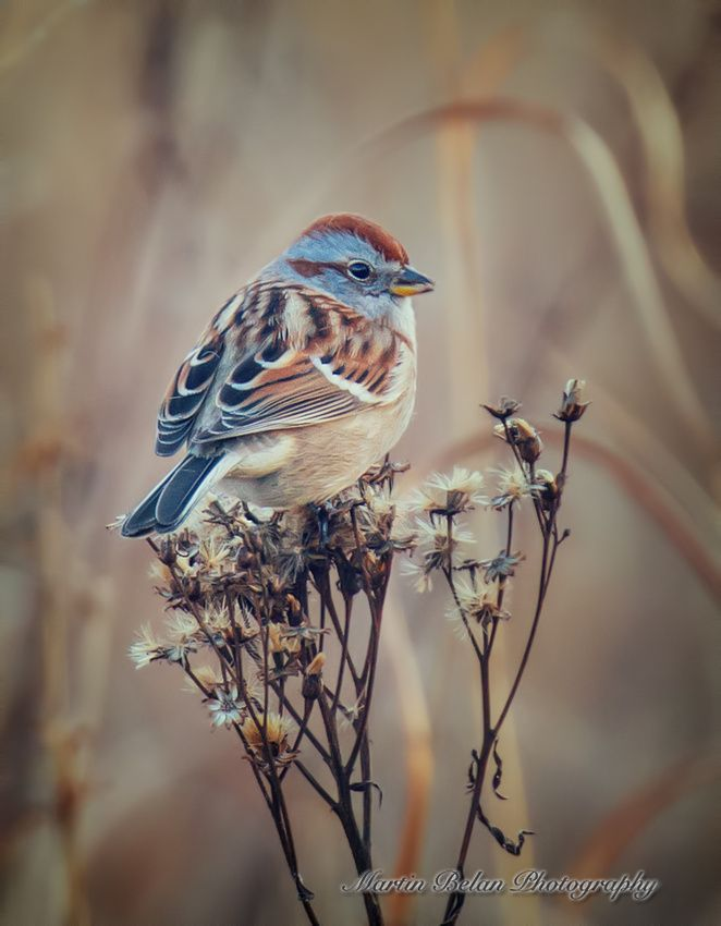 American Tree Sparrow Feeding on Seeds