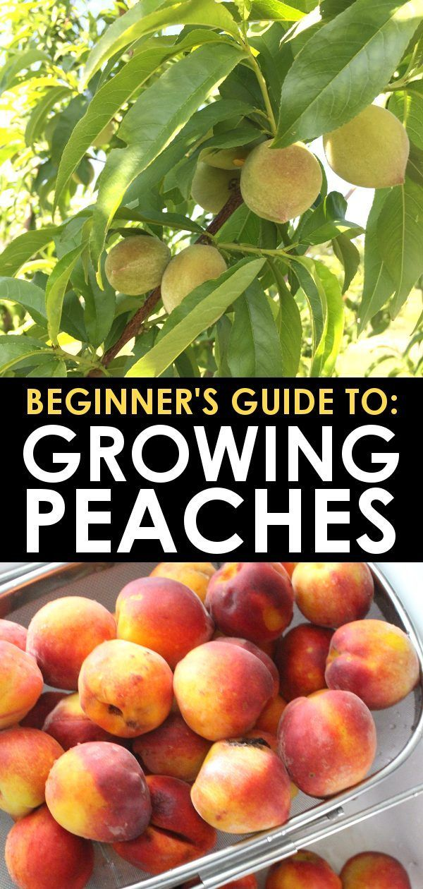 How To Grow Peach Trees Beginner S Guide To Growing Peaches In 2021 Fruit Trees Garden Design Organic Gardening Tips Fruit Trees Backyard