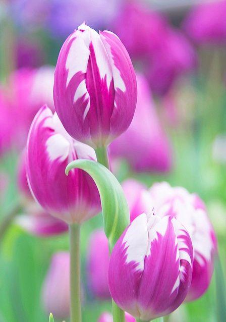 ~beautiful tulip~ Flowers Garden Love