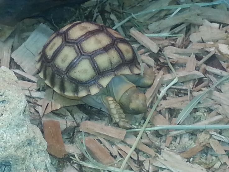 African Spurred Tortoise or Sulcata Tortoise Tortoise