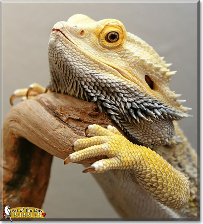 Read Old Man Bubbles's story the German Giant Bearded Dragon from Austin, Texas and see his photos at Pet of the Day http://PetoftheDay.com/archive/2015/February/25.html