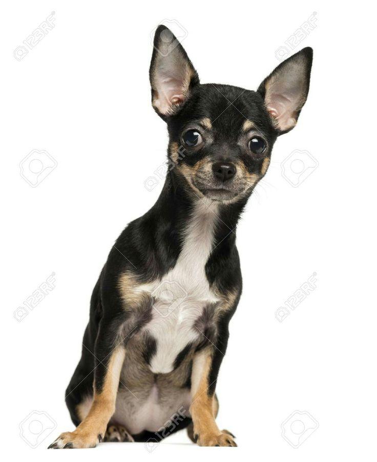 Chihuahua Chihuahua puppies, Puppy sitting, Puppies