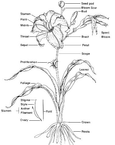 Diagram of a carnation stem auto electrical wiring diagram 83 best blueprints images on pinterest flowers botany and photography rh pinterest com scince fair colored carnation diagram carnation anatomy diagram ccuart Gallery