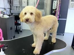 Image result for cockapoo groom before and after