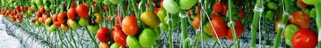 Small Business Ideas   List Of Small Business Ideas: How to Planting Tomatoes for Business   Tomatoes Farming for Business