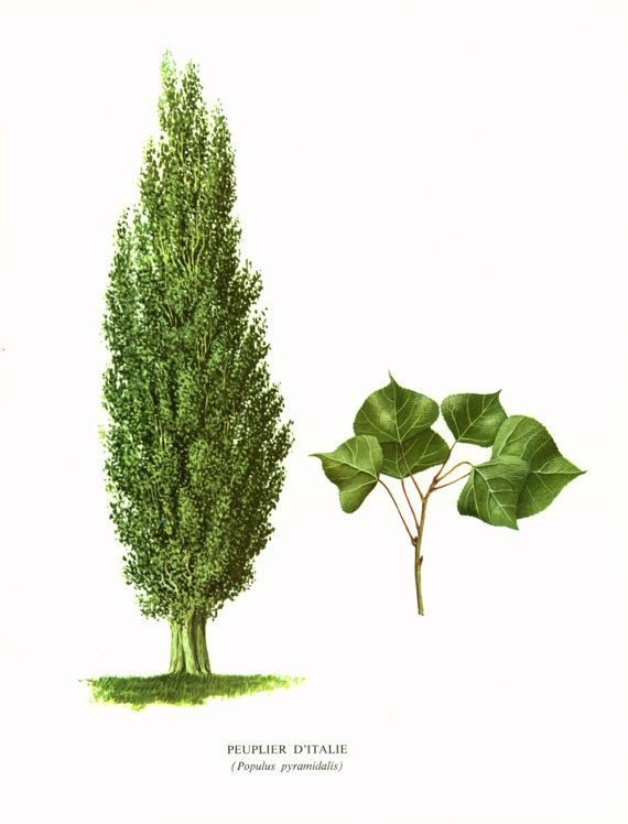 тополь дерево картинка для один самых удачливых