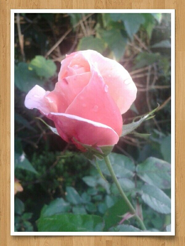 Probably the last rose to flower this year.