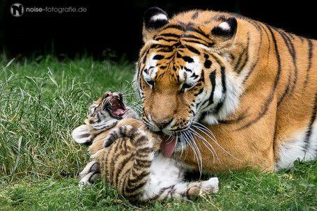 lachendes Tigerbaby im Tierpark Gotha laughing funny Gota Gotschka