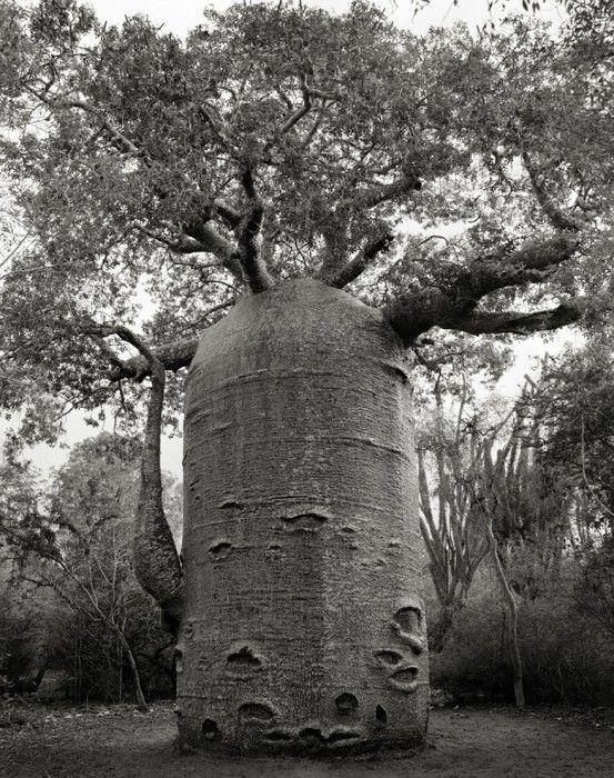 staroveke-stromy12