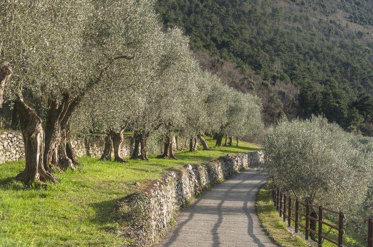 lake garda olive trees