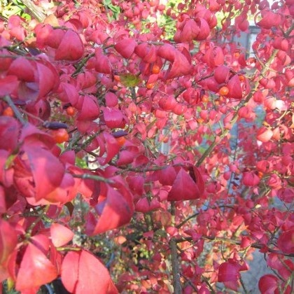 Euonymus Alatus - Winged Spindle
