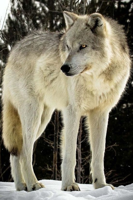 Filtiarn - huge gray wolf with glowing golden eyes